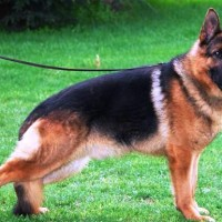 German Shepherd Healthy Dog Breed