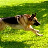 German Shepherd Large Dog Breed with Pictures