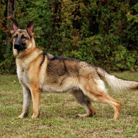German Shepherds for your loved ones