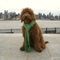Goldendoodle for your loved ones