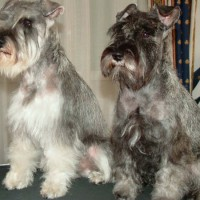 How to Care fo Schnauzer Perros
