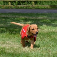 How to Educate a Labrador Dog or Puppy