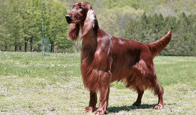 Large Dog Breeds with Pictures