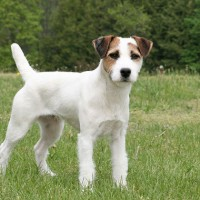 Jack Russell Terrier Small Dog Breed with Pictures