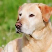 Labrador Retriever Dogs for your loved ones