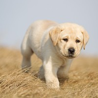 Labrador Retriever Healthy Dog Breed