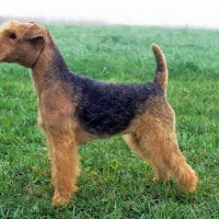 Lakeland Terrier Small Dog Breed with PIctures