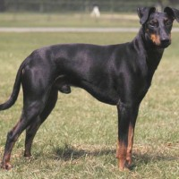 Manchester Terrier Small Dog Breed with Pictures