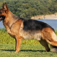 Originally German Shepherdswere bred for working