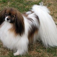 Papillon dog Small Dog Breed with Pictures