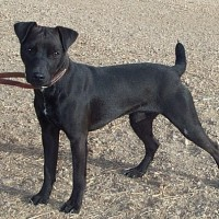 Patterdale Terrier Small Dog Breed with Pictures