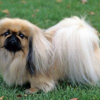 Pekingese relaxed dog breed