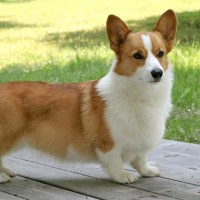 Pembroke Welsh Corgi Healthy Dog Breed