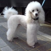 Poodle Small Dog Breed with Pictures