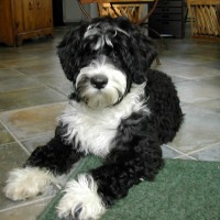 Portuguese Water Dog Least Health Problems