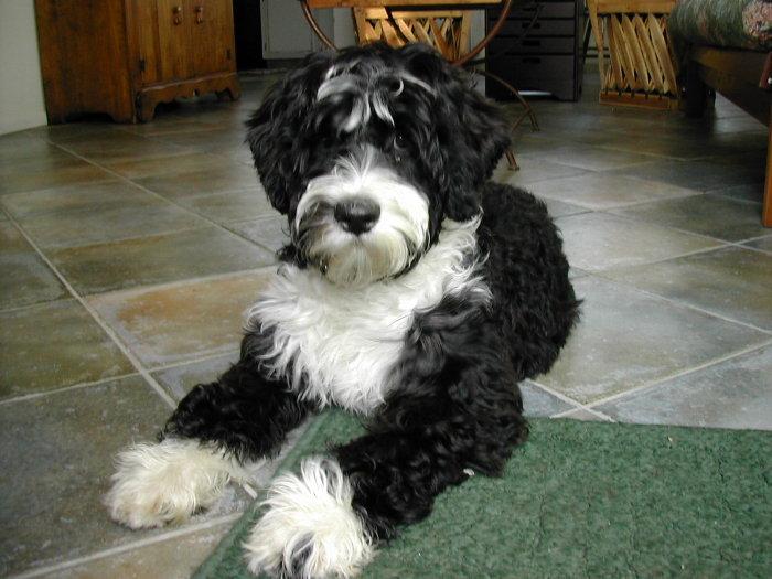 portuguese water dog adoption