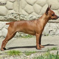 Prazsky Krysarik Small Dog Breed with Pictures