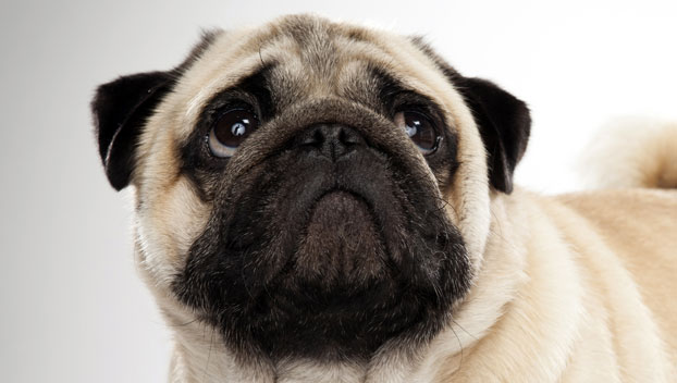 Pug Small Dog Breed with Pictures