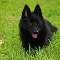 Schipperke Small Dog Breed with Pictures
