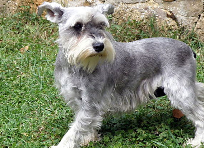 How to Care for Schnauzer Dogs the Perfect Way
