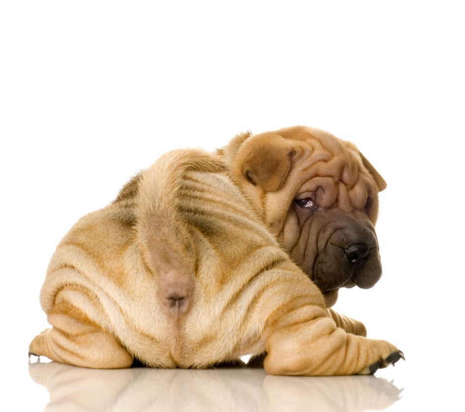 Shar pei relaxed dog breed