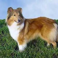 Shetland Sheepdog Healthy Dog Bred
