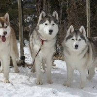 Siberian Husky Healthy Dog Breed