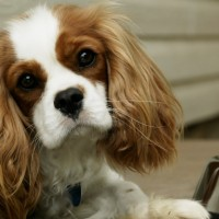 So Cute King Charles Spaniel Dog