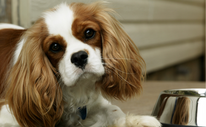 So Cute King Charles Spaniel Dog