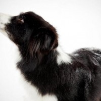 The Border Collie Smartest Dog Breed