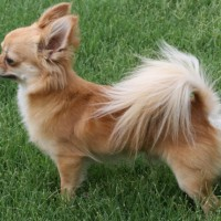 The Chihuahua Breeds Small but Smart Puppy