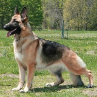 The German Shepherd Smartest Dog Breed