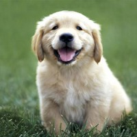 The Golden Retriever Smartest Dog Breed