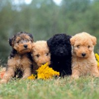 The Lakeland Terrier Least Health Problems