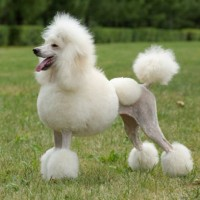 The Poodle Smartest Dog Breed