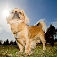 Tibetan Spaniel Small Dog Breed with Pictures