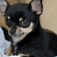 Top Chihuahua Dog Breeds To Keep As Puppy