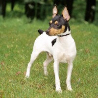 Toy Fox Terrier Small Dog Breed with Pictures