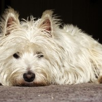 West Highland White Terrier Small Dog Breed with Pictures