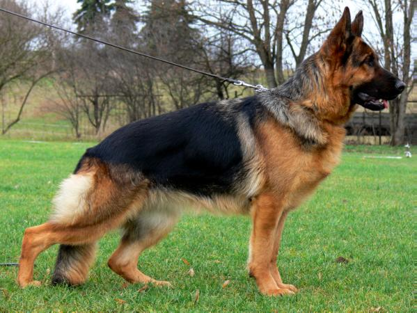 What To Know About German Shepherd Puppies