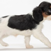 White n Black King Charles Spaniel Dog