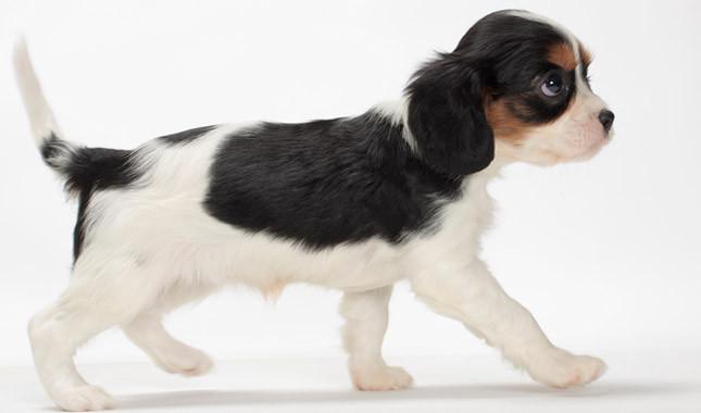 White n Black King Charles Spaniel Dog