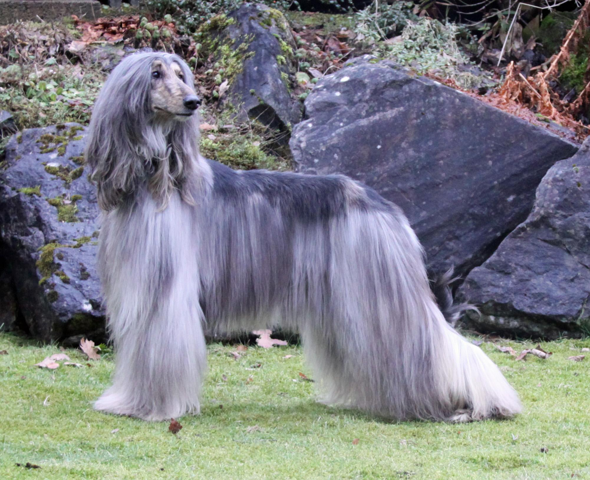 Afghan Hound Dog Pictures