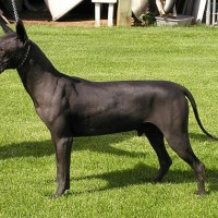 Xoloitzcuintle Small Dog Breed with Pictures