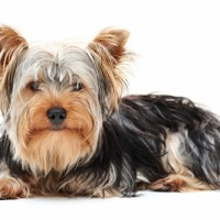 Yorkshire Terrier Small Dog Breed with Pictures