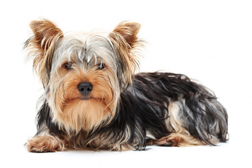 Small Dog Breeds with Pictures