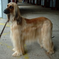 afghan hound dog breed picture