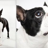american hero boston terrier breeders