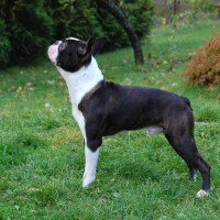 american hero boston terrier information
