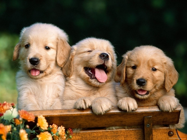 awesome laugh funny golden retrievers picture